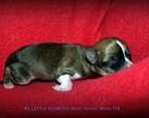 Chihuahua boy - 2 dni