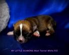 Chihuahua boy - 1 tydzień