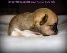 Chihuahua boy - 2 tygodnie