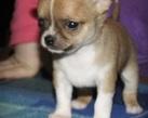 Chihuahua boy - 4 tygodnie