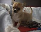 Chihuahua boy - 5 tygodni