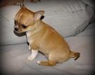 Chihuahua boy - 6 tygodni