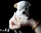 Chihuahua krótkowłosa - 4 tygodnie