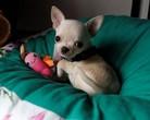 Chihuahua krótkowłosa - 6 tygodni