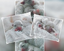 Szczenię maltańczyk - samiec 4 doba życia