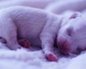 Chihuahua samczyk - 6 dni