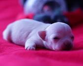 Chihuahua samczyk - 8 dni