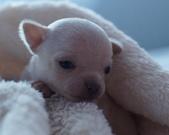 Chihuahua samczyk - 2 tygodnie