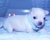 Chihuahua samczyk - 3 tygodnie