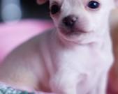 Chihuahua samczyk - 4 tygodnie