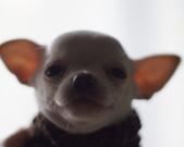 Chihuahua samczyk - 5 tygodni