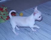 Chihuahua samczyk - 7 tygodni