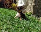 Chihuahua sunia 9 tygodni