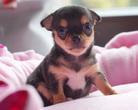 Chihuahua sunia 4,5 tygodnia