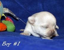 Chihuahua samczyk krótkowłosy