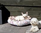 Chihuahua Woyna Dogomania & Maltese Dolce Vita z Chmielnik