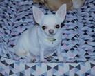 Chihuahua Woyna Dogomania w 35 dniu ciąży
