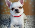 Chihuahua Woyna Dogomania