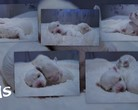 Baby maltese