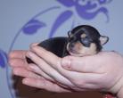 Chihuahua sunia 7 dni
