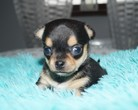 Chihuahua sunia 4 tygodnie