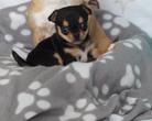 Chihuahua sunia 5 tygodni