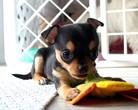 Chihuahua sunia 6 tygodni