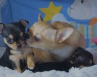 Chihuahua sunia 6,5 tygodnia
