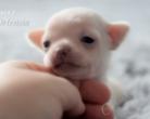 Chihuahua krótkowłosa - 2,5 tygodnia
