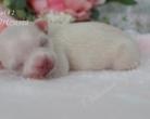 Chihuahua krótkowłosa - 7 doba życia