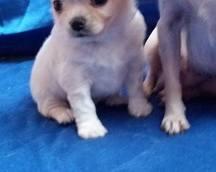 Chihuahua samczyk długowłosy