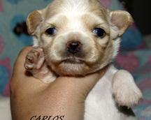Chihuahua 3 tygodnie