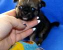 Chihuahua - 4 tygodnie