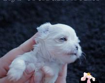 Maltese puppy 3 weeks old