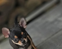 Chihuahua krótkowłosa