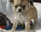 Chihuahua girl - 5 tygodni