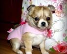 Chihuahua girl - 6 tygodni