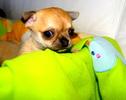Chihuahua 4 tygodnie