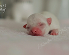 Chihuahua krótkowłosa - 2 doba życia