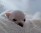 Chihuahua krótkowłosa - 14 dni