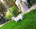 Boomer-chihuahua