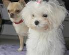 Maltańczyk i Chihuahua