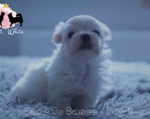 Maltese puppy 4 week old
