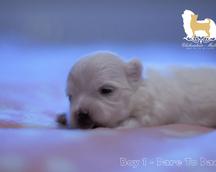 Maltese puppy 2 weeks old