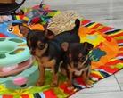 Chihuahua szczenięta - 9 tygodni