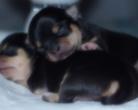 Chihuahua szczenięta - 6 dni