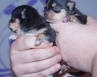 Chihuahua szczenięta - 7 dni