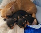 Chihuahua szczenięta - 6,5 tygodnia