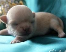 Chihuahua sunia krótkowłosa