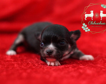 Chihuahua długowłosa